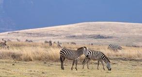 哺养与山的斑马在背景中 库存照片