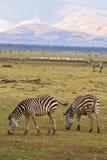哺养与山的斑马在背景中 免版税图库摄影
