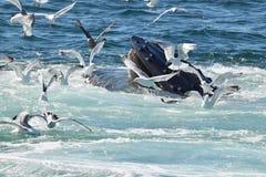 哺养与鸥的驼背鲸开放嘴 免版税库存照片