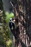 哺养年轻人的伟大被察觉的啄木鸟在巢 免版税库存图片