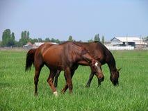 哺养离农场不远的两匹棕色马 免版税库存照片