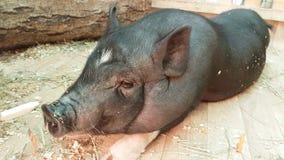 哺养和与黑矮小的猪联络 股票录像