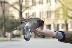 哺养和平衡在人的手上的一只鸽子 免版税库存照片