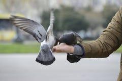 哺养和平衡在人的手上的两只鸽子 图库摄影