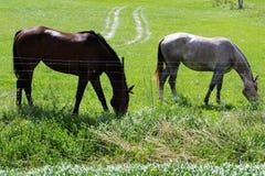 哺养哺养在草的两匹美丽的健康马 免版税库存照片