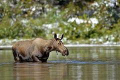 哺养在一个高山湖的麋 免版税库存照片