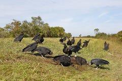 哺养在一个死的野公猪-佛罗里达的黑雕 免版税库存照片