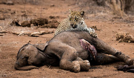 哺养在一具大象尸体的豹子在克留格尔国家公园,南非 库存图片