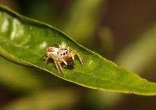 哺养在一只死的昆虫的跳跃的蜘蛛 免版税图库摄影