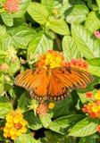 哺养在一朵五颜六色的马樱丹属花的海湾贝母蝴蝶的背面观 免版税库存照片