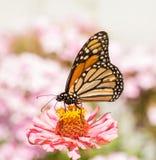 哺养在一朵桃红色百日菊属花的黑脉金斑蝶 免版税库存照片