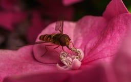 哺养在一朵桃红色花的美丽的Hoverfly 图库摄影