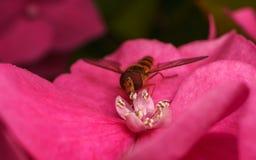 哺养在一朵桃红色花的美丽的Hoverfly 免版税库存图片
