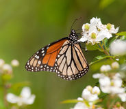 哺养在一朵狂放的黑莓花的黑脉金斑蝶 免版税库存图片