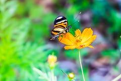哺养在一朵美丽的橙色花的黑脉金斑蝶 免版税库存照片