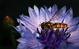 哺养在一朵蓝色和紫色花的美丽的Hoverfly 免版税库存照片