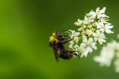 哺养在一朵野生蒜花的一只湿土蜂在英国 免版税库存照片