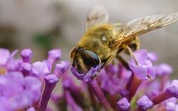 哺养在一朵紫色花的美丽的Hoverfly 免版税库存照片