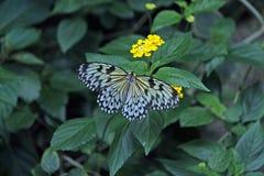 哺养在一朵黄色花的黑白蝴蝶 免版税库存图片