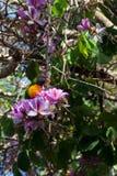 哺养在一棵紫色紫荆花树的彩虹lorikeet 免版税库存照片