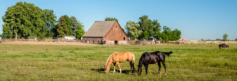 哺养在与一个老谷仓的一个领域的马 免版税库存照片