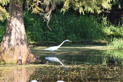 哺养在佛罗里达沼泽地的伟大的白鹭 免版税库存照片