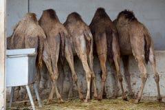 哺养在农场的骆驼 库存图片