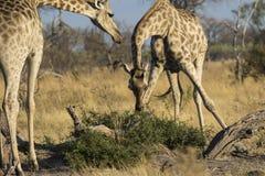 哺养在博茨瓦纳的两头长颈鹿 免版税库存照片