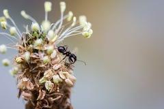 哺养在另一只昆虫的蚂蚁在植物顶部 免版税图库摄影