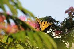哺养在含羞草绽放的Swallowtail蝴蝶 免版税库存图片