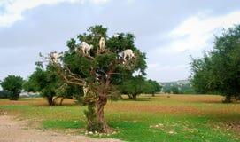 哺养在圆筒芯的灯种子的山羊 免版税库存照片