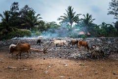 哺养在垃圾的废物的圣洁母牛在印度 免版税库存照片