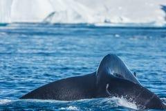 哺养在大冰山,伊卢利萨特, Greenla中的驼背鲸 免版税库存照片