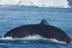 哺养在大冰山,伊卢利萨特, Greenla中的驼背鲸 库存图片
