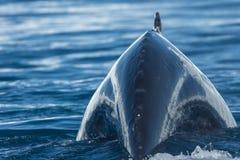 哺养在大冰山,伊卢利萨特, Greenla中的驼背鲸 图库摄影