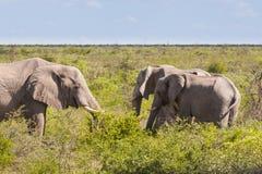 哺养在大草原,博茨瓦纳的非洲大象牧群 免版税库存图片