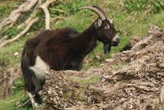 哺养在小山的倾斜的一野山羊山羊属aegagrus 免版税库存图片