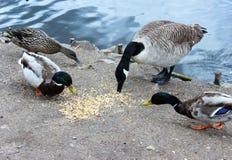 哺养在带红色谷的鸭子和鹅 免版税库存图片