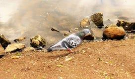 哺养在带红色谷的鸽子 免版税库存照片