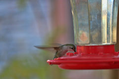 哺养在庭院饲养者的蜂鸟 免版税库存图片
