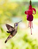 哺养在强壮的紫红色的花的蜂鸟 免版税库存照片