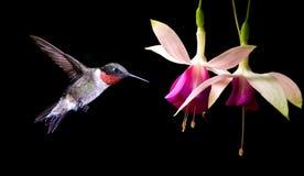 哺养在强壮的紫红色的花的蜂鸟 库存照片