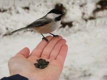 哺养在手上的黑加盖的山雀 图库摄影
