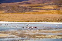 哺养在拉古纳的火鸟群 库存照片