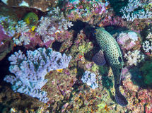 哺养在斐济珊瑚的被察觉的Sweetlips 库存图片
