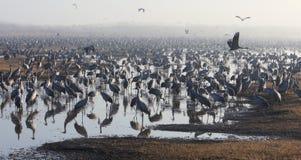 哺养在日出的起重机在国家公园Agamon  免版税库存图片