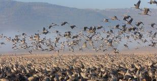 哺养在日出的起重机在国家公园Agamon  免版税库存照片