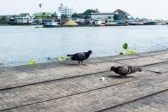 哺养在木地板上的鸽子 免版税库存图片