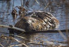 哺养在树苗的海狸 免版税库存照片