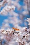 哺养在桃子开花的蝴蝶在早期的春天 库存图片